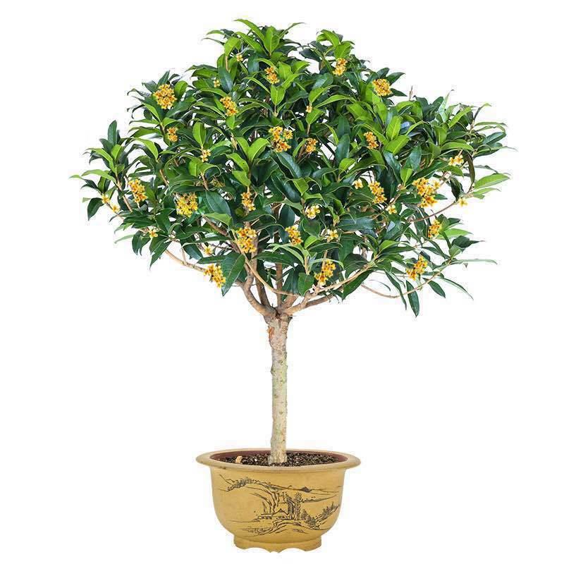 嫁接3年桂花树4品种