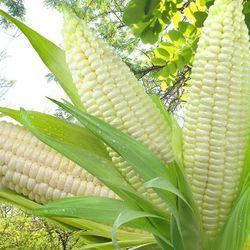 花果美颜 新鲜白糯玉米 5斤